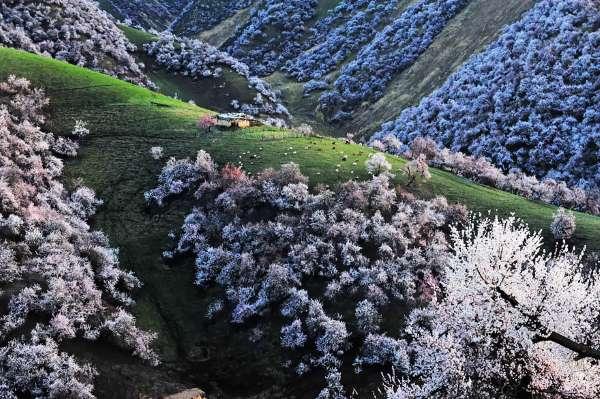 valle albicocche cina6