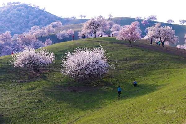 valle albicocche cina7