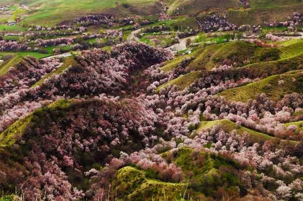 valle albicocche cina9