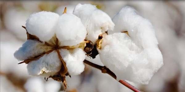 cotone sostenibile aziende