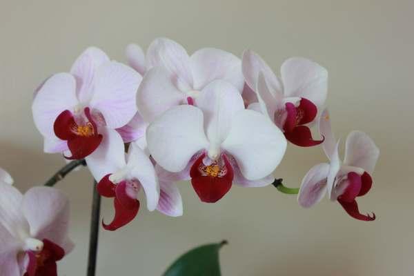 curare orchidee 2