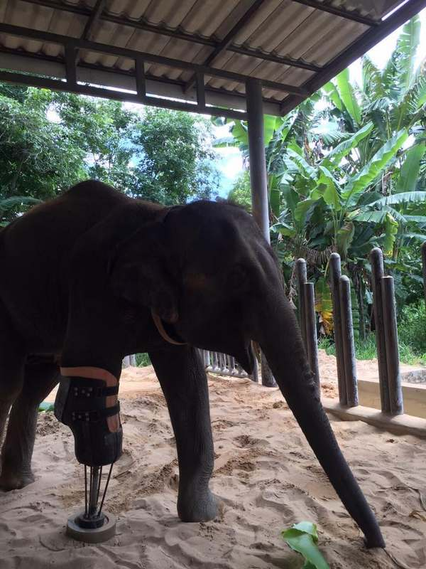 elefanti protesi 5