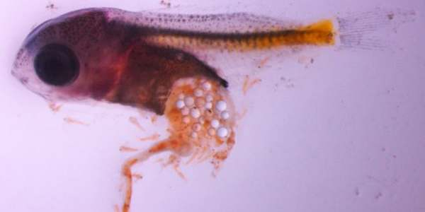 microplastiche pesci