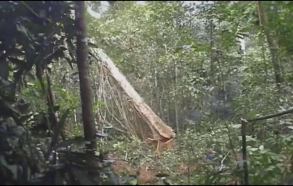 olio di palma indigeni