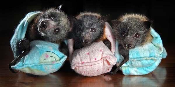salvare pipistrelli