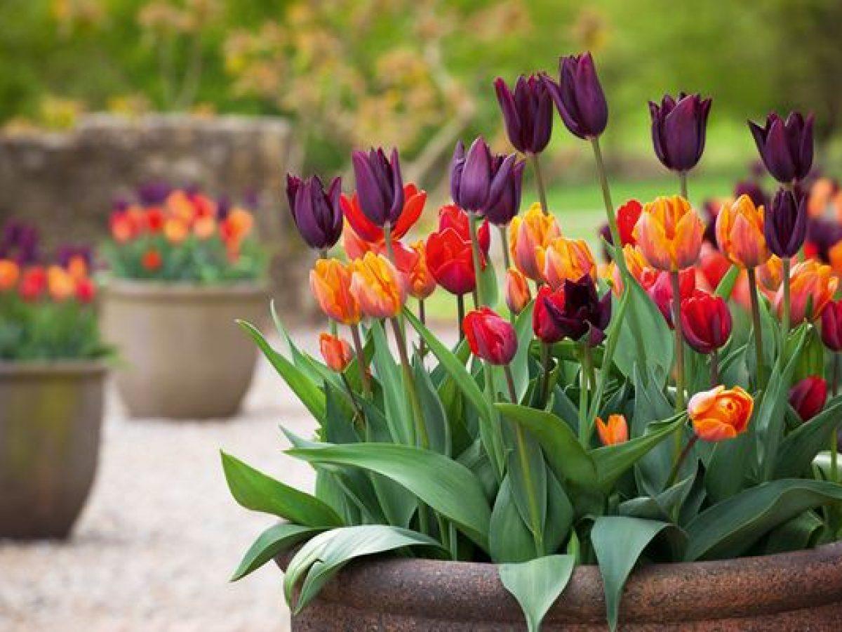 Piantare I Bulbi Di Tulipani come coltivare i tulipani - greenme.it