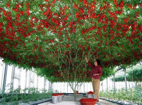 albero pomodori 1