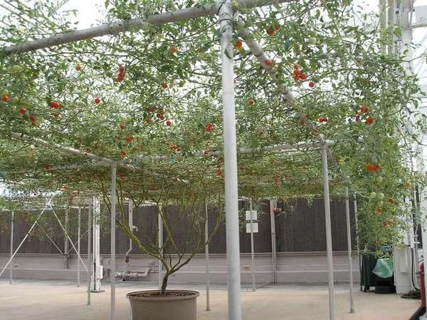 albero pomodori 2