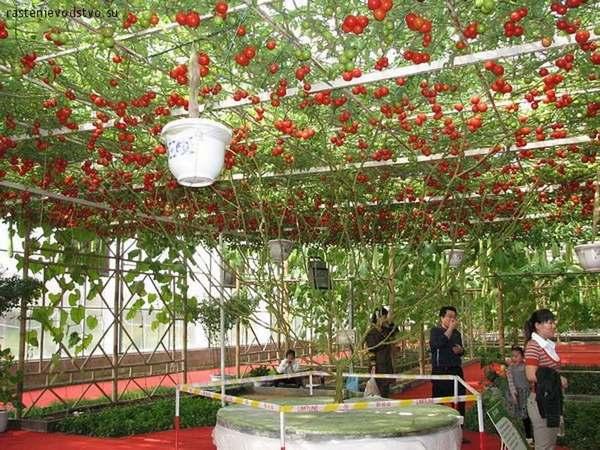 albero pomodori 3