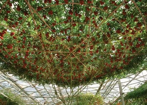 albero pomodori 4