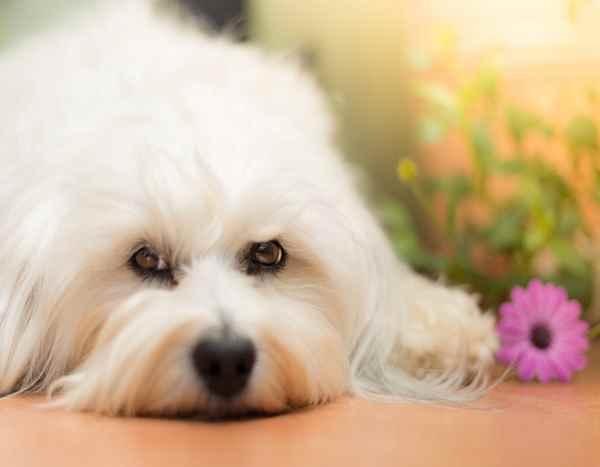 cani e fiori di bach