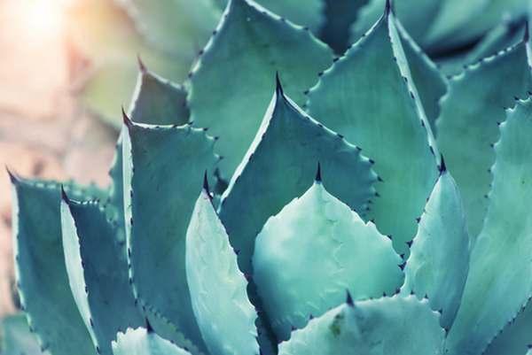 coltivare agave in vaso