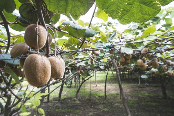 coltivare kiwi 1