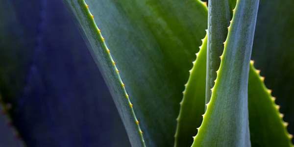 come coltivare agave