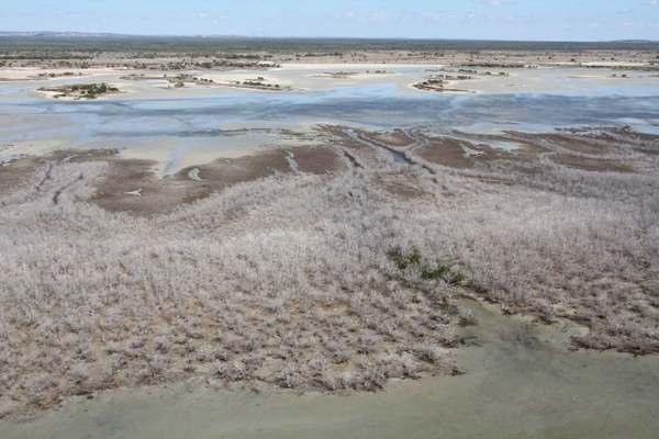 mangrovie australia 1
