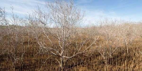mangrovie australia