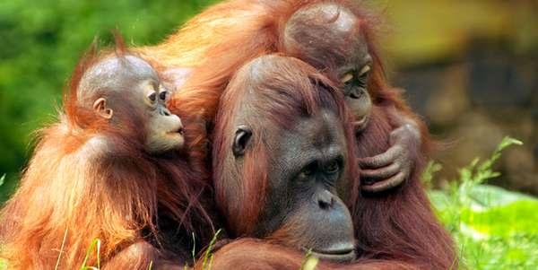 oranghi estinzione olio di palma