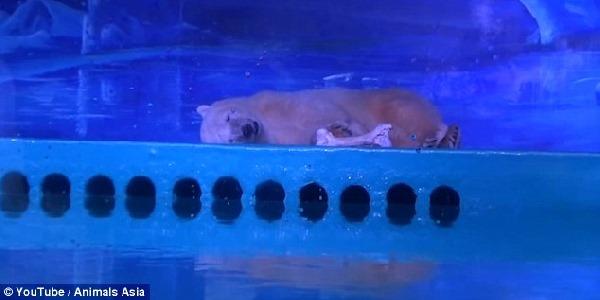 orso polare animal asia