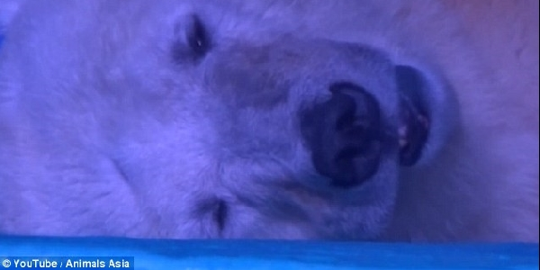 Orso polare in agonia
