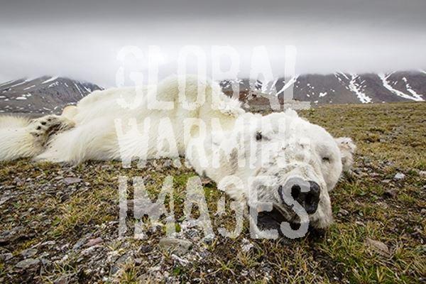polare orso