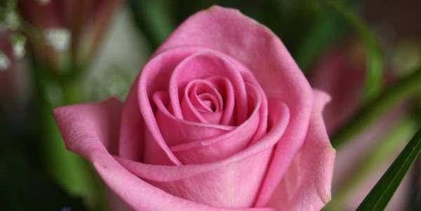 rose ogm monsanto