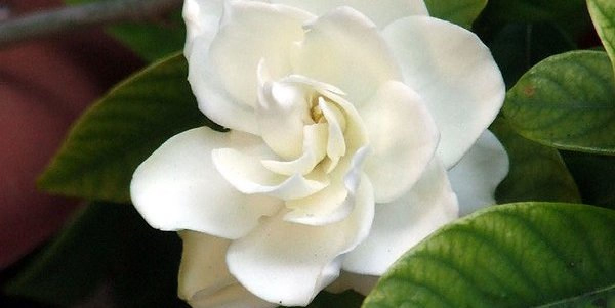 Fiori Gialli Gardenia.Gardenia Come Coltivarla In Vaso O In Giardino Greenme It