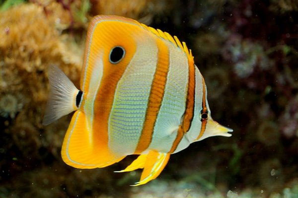 pesce farfalla 1