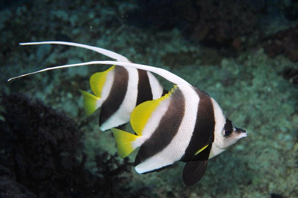 pesce farfalla 3