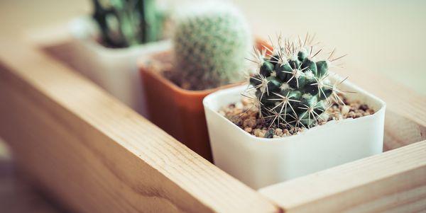 cactus innesto