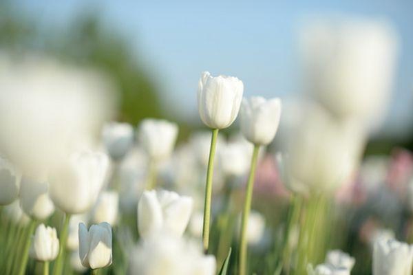 coltivare tulipani 2