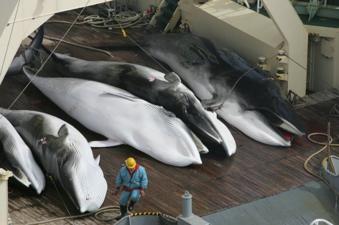 caccia alle balene