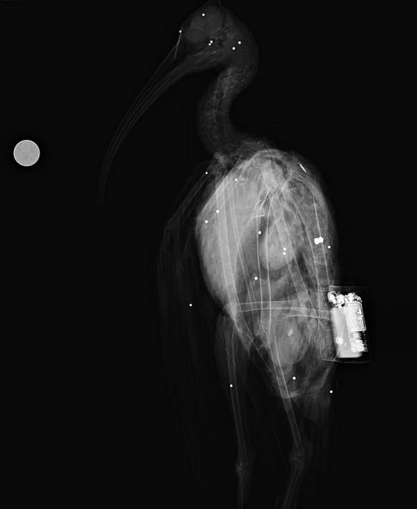 ibis eremita 3