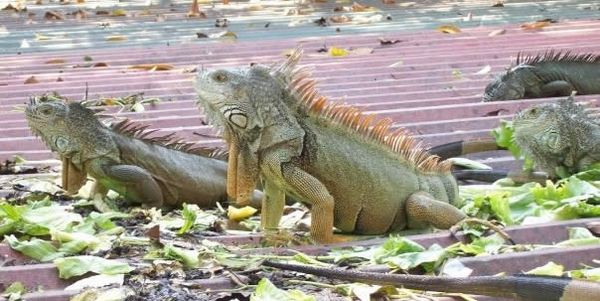 iguana messico