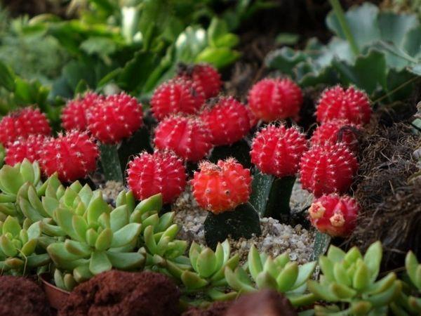 innesto cactus 1
