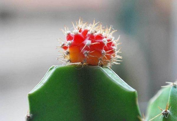 innesto cactus