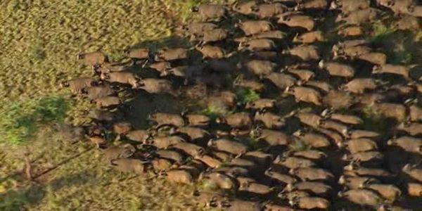 bufali dakota pipeline