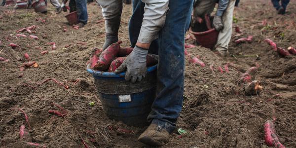 patate-dolci-sfruttamento-lavoratori-usa