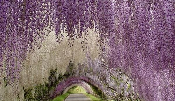 wisteria tunnel1