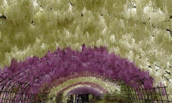 wisteria tunnel2