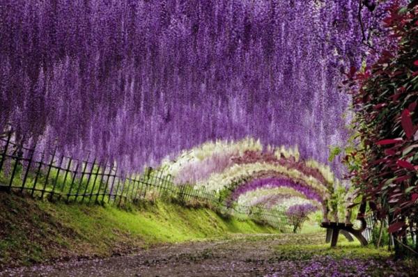 wisteria tunnel4