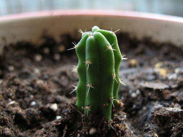 cactus san pedro
