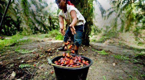 olio di palma sfruttamento1