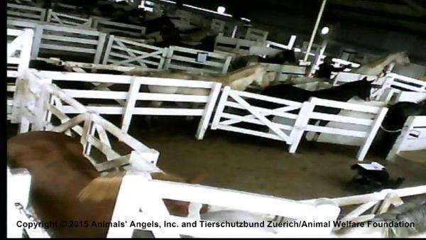 cavalli sangue1