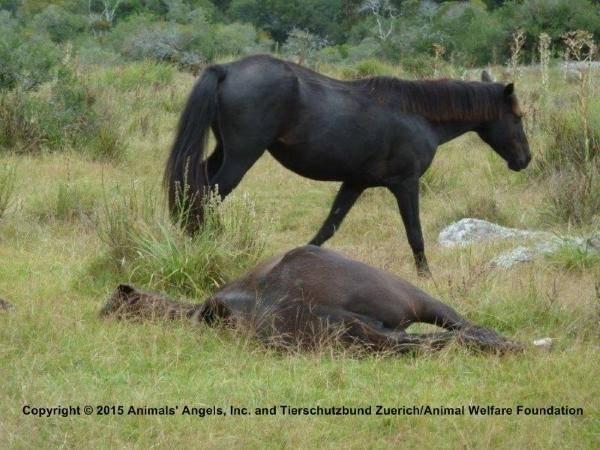 cavalli sangue2