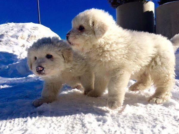 cuccioli rigopiano2