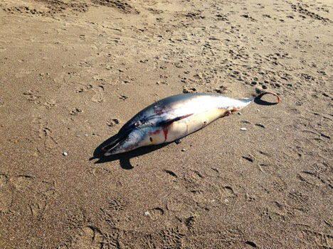 delfino barattio