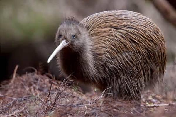 kiwi bruno