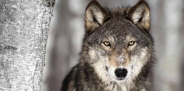 lupi norvegia caccia