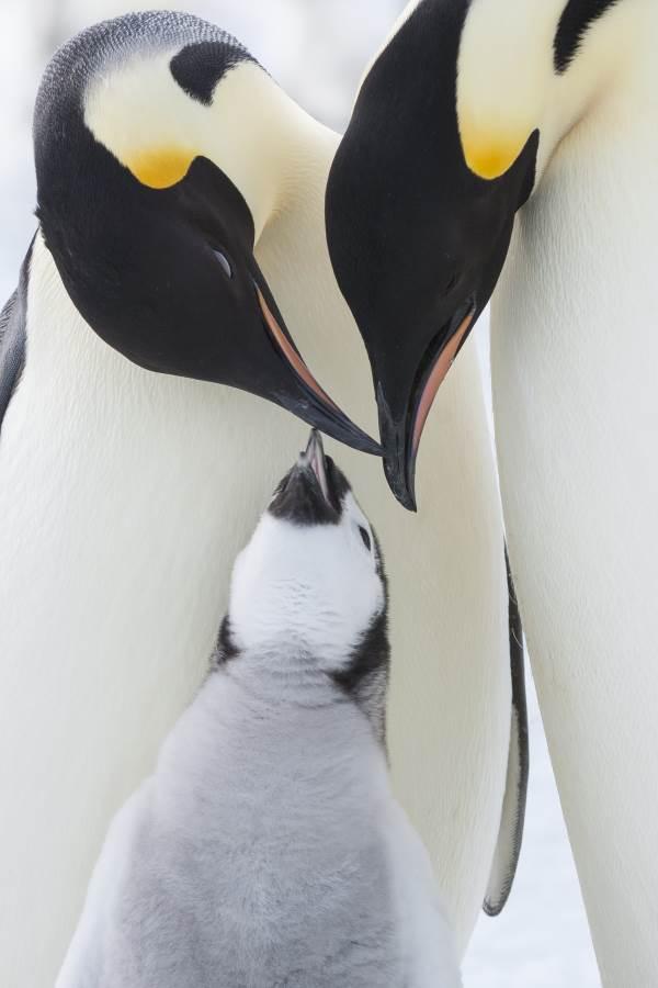 marcia dei pinguini4