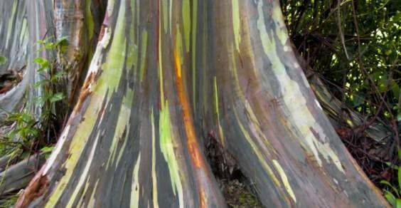 eucalipto arcobaleno2